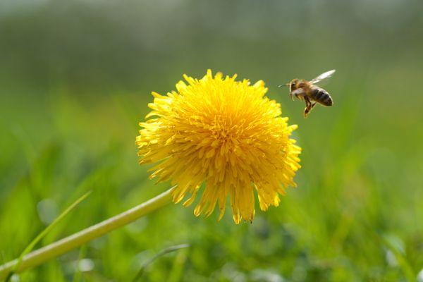 Wildbienenpatenschaft